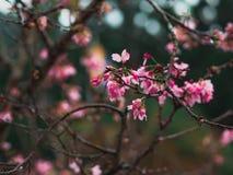 Nahaufnahme-Jahreszeit sch?ne Kirschbl?te oder Kirschbl?te-Blumen im Fr?hjahr stockbild