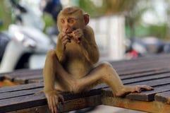 Nahaufnahme, junger Macacaaffe, der auf einem beanch sitzt und Früchte isst Lizenzfreie Stockfotos
