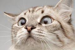 Nahaufnahme-Katze mit der runden Augen-Neugier, die auf seiner Nase schaut Stockbilder