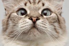 Nahaufnahme-Katze mit der runden Augen-Neugier, die auf seiner Nase schaut Lizenzfreies Stockbild