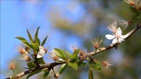 Nahaufnahme-Kirschblüten auf Baum im Frühjahr stock video