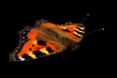 Nahaufnahme-kleiner Schildpatt-Schmetterling auf schwarzem Hintergrund Stockbilder