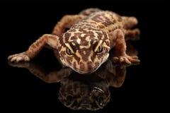 Nahaufnahme-Kopf von Leopard-Gecko Eublepharis-macularius lokalisiert auf Schwarzem Stockfotos