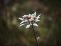 Nahaufnahme Leontopodium-Edelweißblume Lizenzfreies Stockfoto