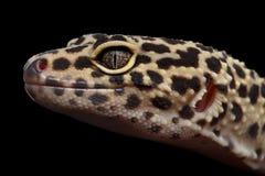 Nahaufnahme-Leopard-Gecko Eublepharis-macularius lokalisiert auf schwarzem Hintergrund lizenzfreies stockfoto