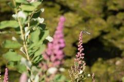Nahaufnahme-Libelle auf klaren rosa Wildflowers Stockbild