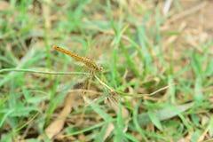 Nahaufnahme-Libellenrest auf der Grasniederlassung in der Natur stockbilder