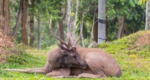 Nahaufnahme männliche Samber-Rotwild an Nationalpark Khao Yai, Thailand Lizenzfreie Stockbilder