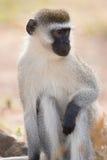 Nahaufnahme männlichen vervet Affen im Sonnenschein Lizenzfreies Stockfoto