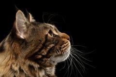 Nahaufnahme Maine Coon Cat Face in der Profilansicht, lokalisiertes Schwarzes stockfotografie