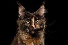 Nahaufnahme Maine Coon Cat Gaze Looks lokalisiert auf schwarzem Hintergrund Stockfoto