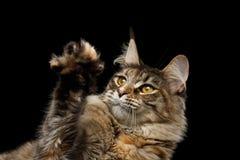 Nahaufnahme Maine Coon Cat Head Isolated auf schwarzem Hintergrund Lizenzfreies Stockbild