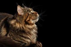 Nahaufnahme Maine Coon Cat Lying, oben lokalisierten schwarzen Hintergrund schauend Lizenzfreie Stockfotos