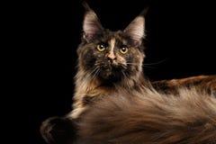 Nahaufnahme Maine Coon Cat Lying, Rest, neugierige Blicke lokalisierte Schwarzes Stockfoto