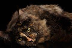 Nahaufnahme Maine Coon Cat Lying, Rest, neugierige Blicke lokalisierte Schwarzes Stockfotos