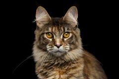 Nahaufnahme Maine Coon Cat Portrait Isolated auf schwarzem Hintergrund Stockfotos
