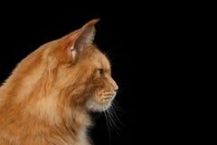 Nahaufnahme Maine Coon Cat Portrait Isolated auf schwarzem Hintergrund Lizenzfreies Stockfoto