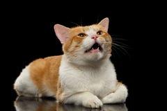 Nahaufnahme miauender Ginger Cat auf Schwarzem Lizenzfreies Stockbild