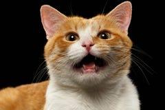 Nahaufnahme miauender Ginger Cat auf Schwarzem Stockfotos