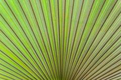 Nahaufnahme mit Beschaffenheit des Palmblattes. Stockfotos