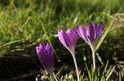 Nahaufnahme mit drei violette Krokussen, die im Frühjahr im Garten mit grünem Gras blüht stockbilder