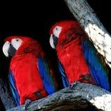 Nahaufnahme mit zwei Papageien Stockfotografie