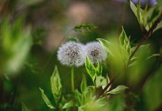 Nahaufnahme mit zwei weiße Löwenzahnschlagbällen mit unscharfen grünen Blättern auf dem Hintergrund stockfoto