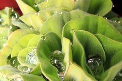 Nahaufnahme-Morgentauwasserhibiscus-Grünblätter Lizenzfreies Stockfoto
