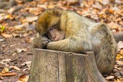 Nahaufnahme netten Barbary-Affenaffe Macaca sylvanus Stockfoto