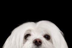 Nahaufnahme-neugieriger weißer maltesischer Hund, der in camera lokalisiertes Schwarzes schaut Lizenzfreie Stockfotografie