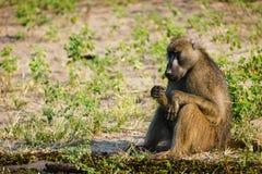 Nahaufnahme-Pavian, der ruhig auf Savanne sitzt und isst stockfoto
