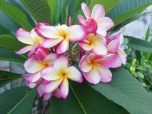 Nahaufnahme Plumeria-Naturansicht der Blume Lizenzfreie Stockfotos