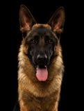 Nahaufnahme-Porträt des Schäferhunds auf Schwarzem Lizenzfreie Stockfotografie
