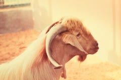 Nahaufnahme-Porträt einer weißen Ziege mit großen Hörnern und einem Bart, DUBAI-UAE 21. JULI 2017 Lizenzfreie Stockbilder