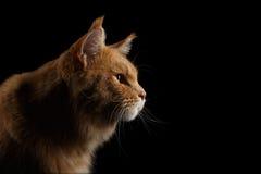 Nahaufnahme-Porträt Ginger Maine Coon Cat Isolated auf schwarzem Hintergrund Stockfotografie