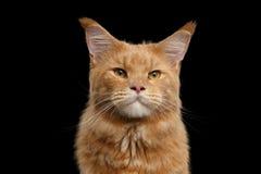 Nahaufnahme-Porträt Ginger Maine Coon Cat Isolated auf schwarzem Hintergrund Lizenzfreie Stockfotografie