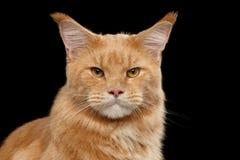Nahaufnahme-Porträt Ginger Maine Coon Cat Isolated auf schwarzem Hintergrund Stockbilder