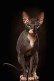 Nahaufnahme-Porträt mürrischer Ansicht Sphynx Cat Front über Schwarzes Stockfoto