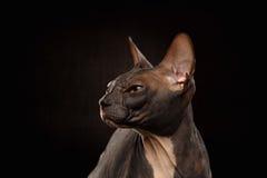 Nahaufnahme-Porträt mürrischer Sphynx-Katze, Profilansicht über Schwarzes Stockfotografie