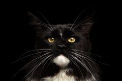 Nahaufnahme-Porträt Maine Coon Cat Looking Camera, lokalisierter schwarzer Hintergrund stockbild