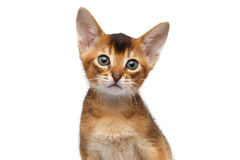 Nahaufnahme-Porträt-nettes abyssinisches Kätzchen auf lokalisiertem weißem Hintergrund Lizenzfreie Stockfotografie
