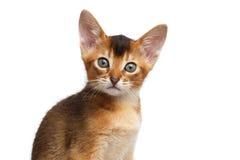 Nahaufnahme-Porträt-nettes abyssinisches Kätzchen auf lokalisiertem weißem Hintergrund Stockbilder