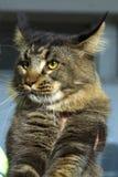 Nahaufnahme-Porträt von entzückender Maine Coon Cat Stare oben in der katzenartigen Ausstellung lizenzfreies stockfoto