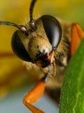 Nahaufnahme-Porträt von großem goldenem Digger Wasp Face lizenzfreie stockfotografie
