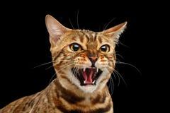 Nahaufnahme-Porträt-Zischen Bengal Cat Face auf lokalisiertem schwarzem Hintergrund Stockfotografie
