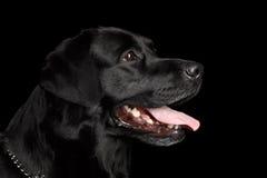 Nahaufnahme-Porträtschwarzes Labrador-Hund, nettes Schauen, Profilansicht, lokalisiert Lizenzfreie Stockfotos