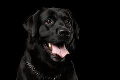 Nahaufnahme-Porträtschwarzes Labrador-Hund, nettes Schauen, Vorderansicht, lokalisiert Lizenzfreies Stockbild
