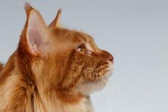 Nahaufnahme-Porträt von Maine Coon Cat in der Profilansicht über Weiß Stockfoto