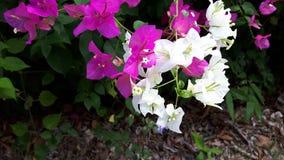 Nahaufnahme purpurroter und weißer bougaville Blume lizenzfreies stockbild