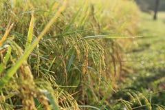 Nahaufnahme-Reis-Plantage morgens mit Tautropfen Stockfoto